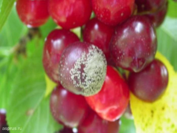 Защита вишни от бурой гнили