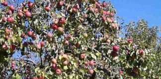 Обрезка садовых деревьев нужна ли