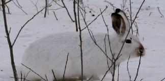 Защита сада от зайцев