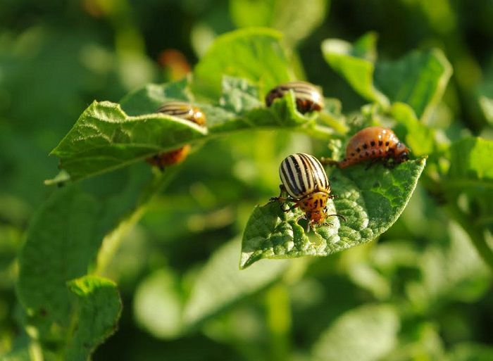 Народный метод борьбы с колорадским жуком