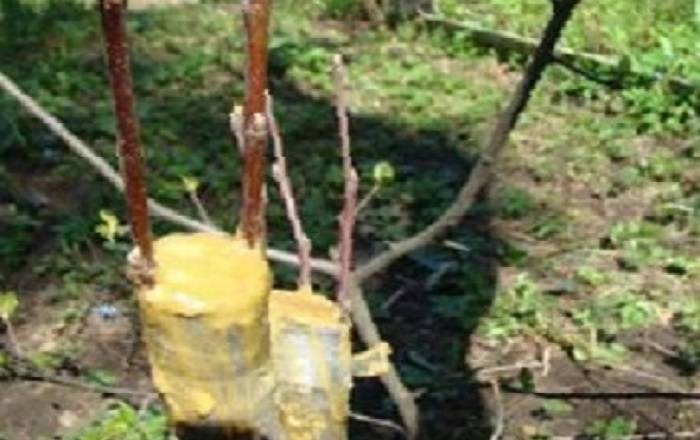 Как привить яблоню весной