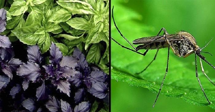 Растения отгоняющие насекомых