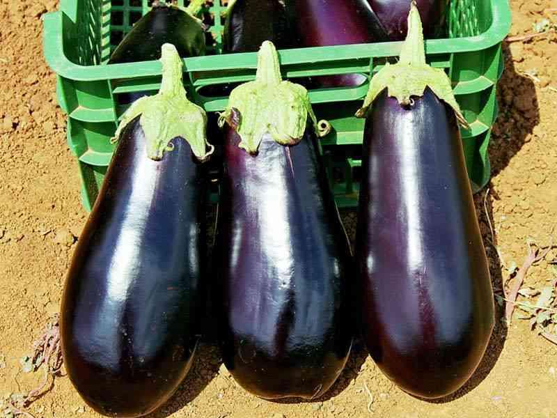 Секреты урожая баклажанов