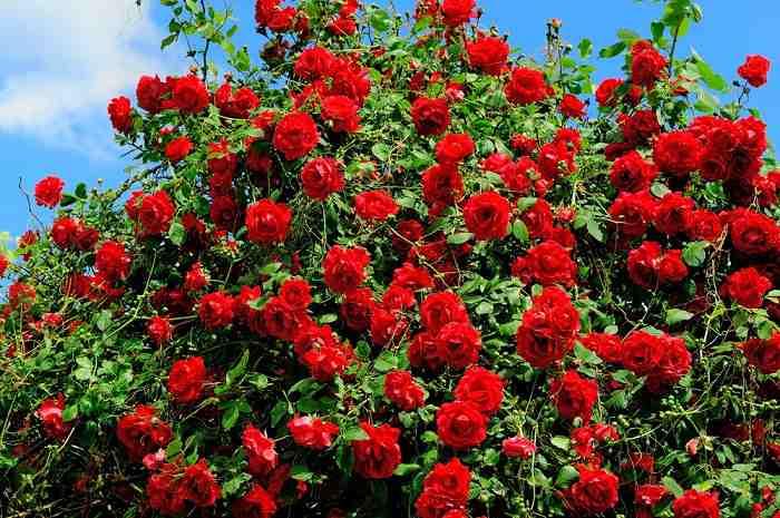 5 ошибок в выращивании роз