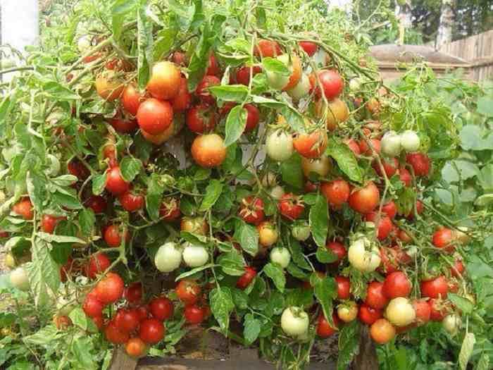 Что не переносят томаты
