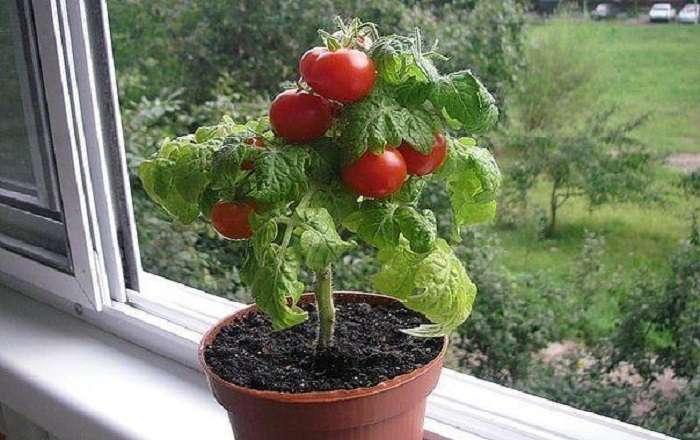 Как вырастить помидоры к маю