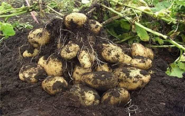 Как с 20 кустов картофеля собрать 40 ведер