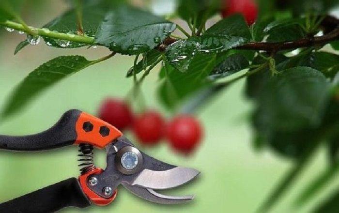 Обрезка вишни и черешни осенью