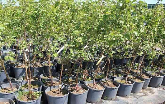 Как выбрать саженцы плодовых деревьев для осенней посадки