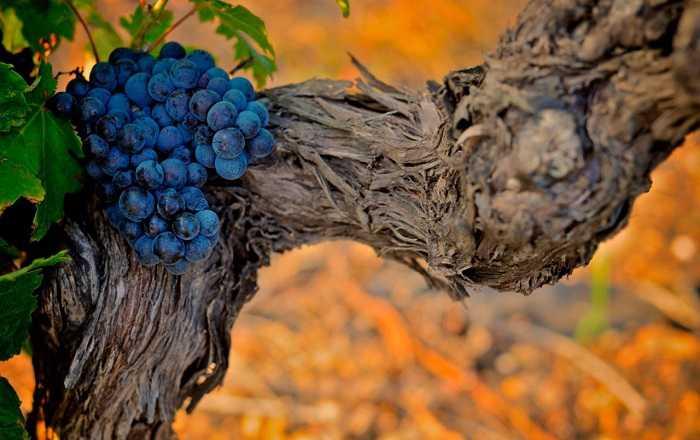 Зачем удалять листья на виноградной лозе