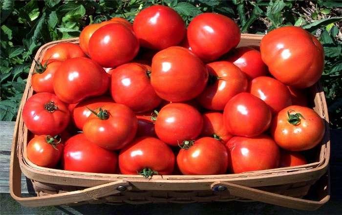60 томатов с куста