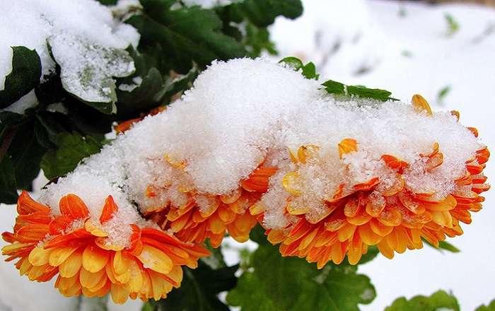 Сорта хризантем, зимующих в открытом грунте