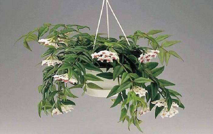 Растения, которые принесут любовь и счастье