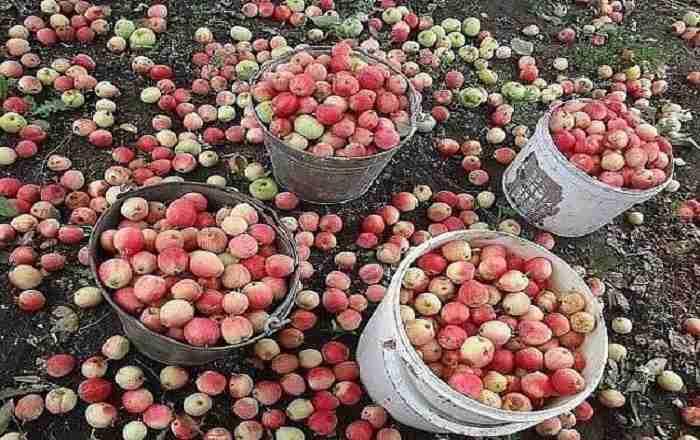 Как получить большой урожай яблок с любой яблони