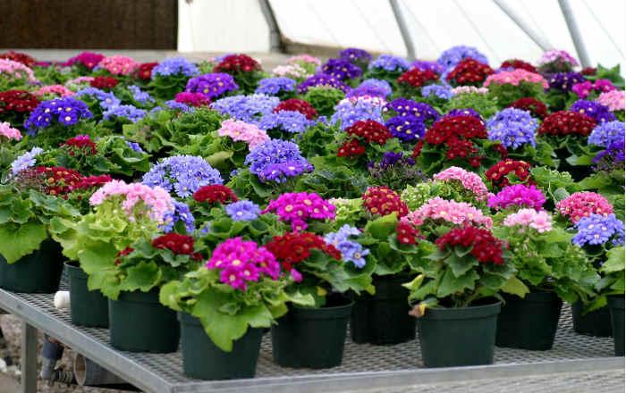 Выращивание цветочной рассады