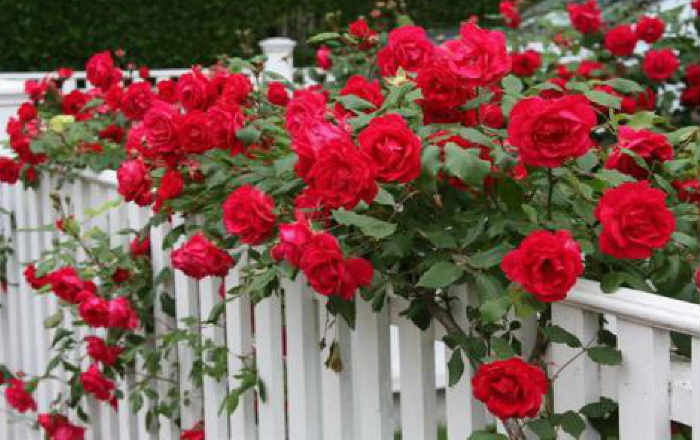 Подкормка розы