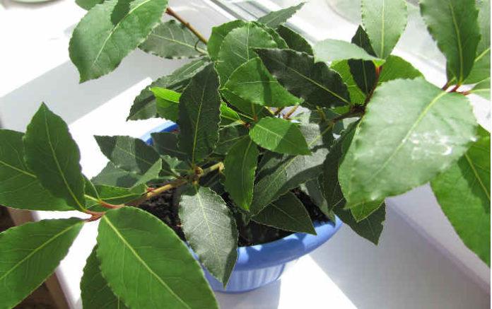 Выращивание лаврушка 23