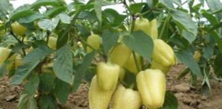 Как увеличить урожайность перца
