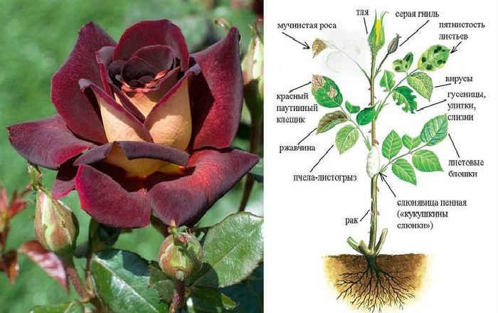 Защита розы от вредителей и болезней