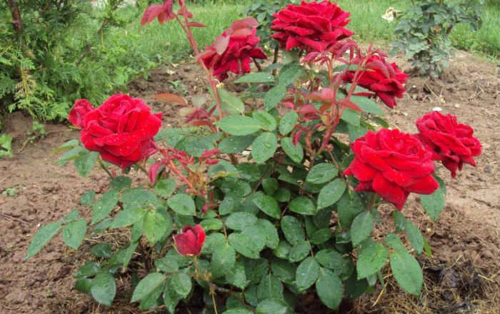 Ошибки в выращивании роз