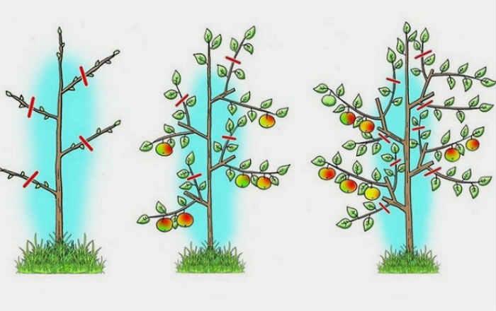Уход и выращивание яблонь 52