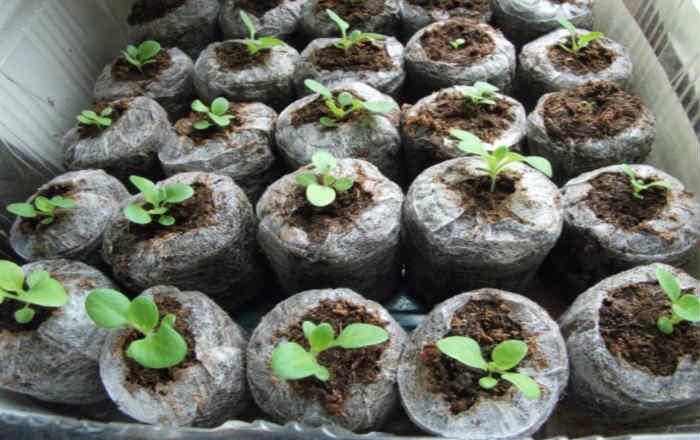 Петуния в торфотаблетках, выращивание