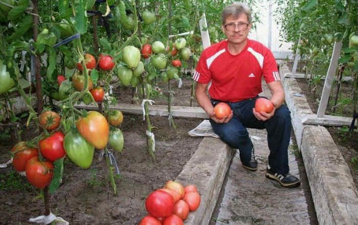 Выращивание помидоров по Маслову