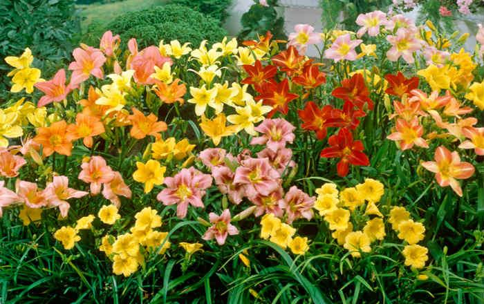 Многолетние неприхотливые цветы для сада