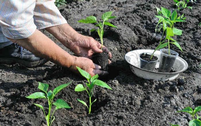 Высаживаем рассаду перца