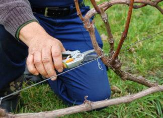 Как правильно обрезать виноград на зиму?