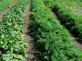 Схема овощной клумбы: соседи должны быть правильные