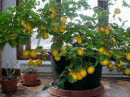 Разведение лимонов дома