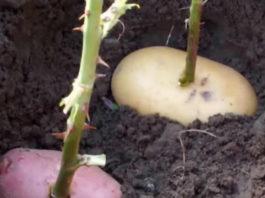 Что будет, если воткнуть розу в картошку