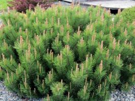 Какие декоративные деревья можно посадить в саду?
