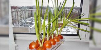Земля здесь не нужна... Самый чудный способ выращивания лука!