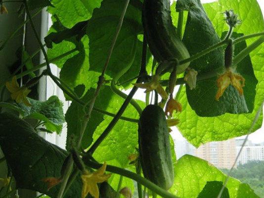 Выращивание огурцов на балконе: раскрываем все правила и секреты урожайности