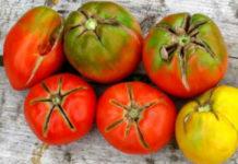 Почему трескаются помидоры?