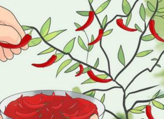 Как вырастить перец чили дома: натуральные специи у тебя на подоконнике!