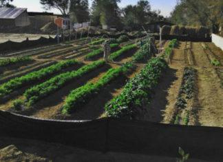 Узкие грядки по Митлайдеру - минимум хлопот, максимум урожая