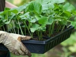 Избегаем ошибок при выращивании рассады из семян