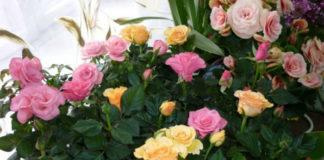 Как из букета вырастить розы
