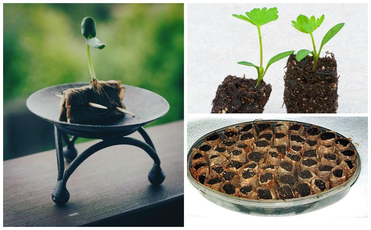 Как сажать семя чая 289