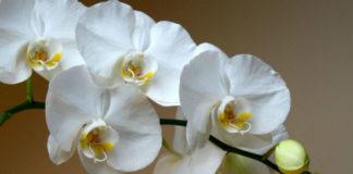 Отличный способ реанимации орхидеи! И столько цветков потом на 1 ветке