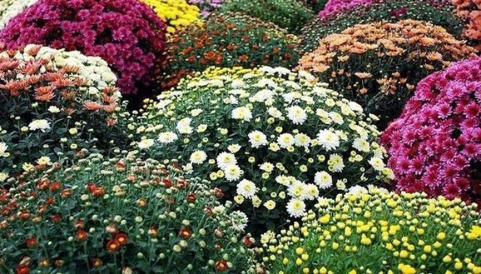 Как вырастить шикарные хризантемы