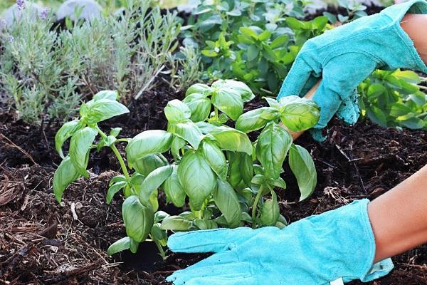 Обязательно сажайте базилик на одной грядке с другими овощами