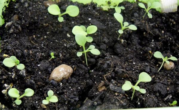 Петунии: 4 шага к хорошей рассаде