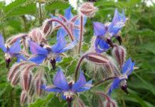 Три целебных травы, которые можно вырастить на даче уже к началу лета