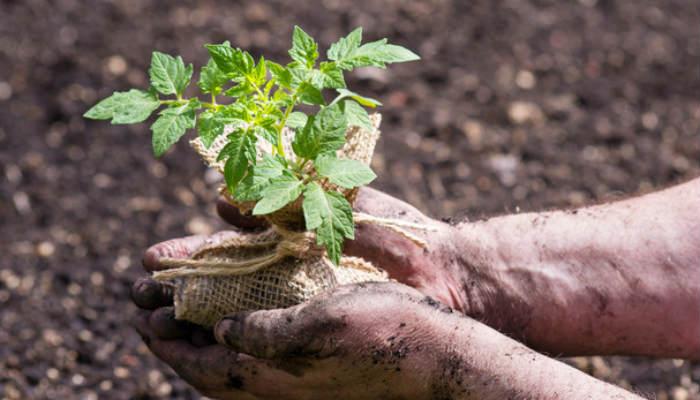 10 приемов, которые помогут вырастить крепкую рассаду