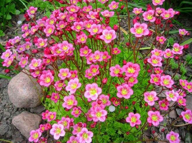 13 скальных растений, цветущих с весны и до осени