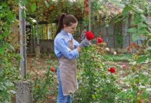 4 причины почему могут почернеть розы
